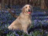 Golden Retriever (Canis Familiaris) Among Bluebells  USA