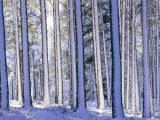 Pine Forest after Snowstorm  Strathspey  Scotland  UK