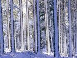 Pine Forest after Snowstorm  Strathspey  Scotland  UK