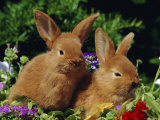 New Zealand Domestic Rabbits and Flowers