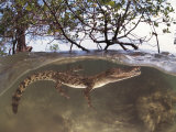 Juvenile Saltwater Crocodile  Amongst Mangroves  Sulawesi  Indonesia