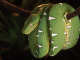 Emerald Tree Boa (Corallus Canina)  Ecuador  Amazon  South America