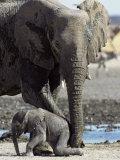 African Elephant Female Helping Baby (Loxodonta Africana) Etosha National Park  Namibia