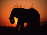 African Elephant Dusting Itself at Dusk  Chobe National Park  Botswana  Southern Africa