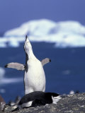 Chinstrap Penguin  Ecstatic Display  South Sandwich Is