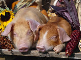 Domestic Piglets Sleeping  USA