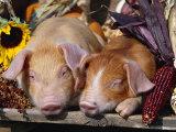 Domestic Piglets Sleeping  USA