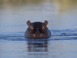 Hippopotamus Submerged in Water  Moremi Wildlife Reserve Bostwana Africa
