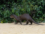 Giant Otter  Guyana