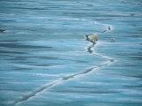 Polar Bear and Cub Cross Crack in Ice  Churchill  Canada