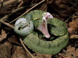 Two Striped Forest Pit Viper Snake with Young  Fangs Open  Amazon Rainforest  Ecuador