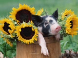 Mixed-Breed Piglet in Basket with Sunflowers, USA Papier Photo par Lynn M. Stone