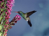 Broad Billed Hummingbird (Cynanthus Latirostris) Az  USA Madera Canyon  Arizona