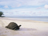 Aldabra Tortoise on Beach  Picard Island  Aldabra  Seychelles