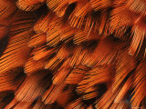Close-Up of Plumage of Male Pheasant