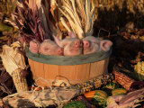 Domestic Piglets Sleeping in a Wooden Barrel  USA