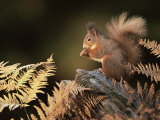 Red Squirrel in Autumn  Scotland  UK Strathspey