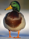 Mallard Drake Portrait Standing on Ice  Highlands  Scotland  UK