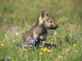 Grey Wolf Pup Amongst Flowers  Montana  USA
