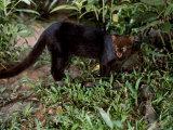 Jaguarundi  Ecuadorian Amazon Ecuador