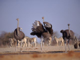 Ostrich Male and Female Courtship Behaviour (Struthio Camelus) Etosha National Park  Namibia