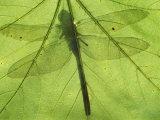 Emperor Dragonfly  Silhouette Seen Through Leaf  Cornwall  UK