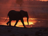 African Elephant  at Sunset Chobe National Park  Botswana