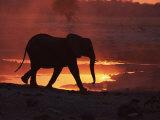 African Elephant  at Sunset Chobe National Park  Botswana