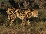 King Cheetah (Acinonyx Jubatus)  De Wildt Game Park  South Africa