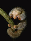 Pygmy Anteater Resting  Guyana  South America  Note Claws for Climbing