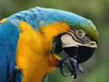 Blue and Yellow Macaw  S America
