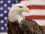 American Bald Eagle Portrait Against USA Flag