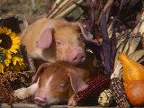 Domestic Piglets  Resting Amongst Vegetables  USA