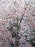 Oak Tree (Quercus Sp) Covered in Snow  Yosemite National Park  California  USA