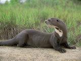 Giant Otter  Guyana
