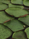 Royal Water Lily Leaves  World's Largest Lily  Brazil