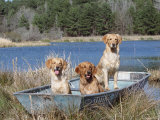 Golden Retrievers in Boat  USA