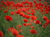 Poppy Field (Papaver Rhoeas)  Germany  Europe