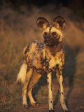 Arican Wild Dog Portrait (Lycaon Pictus) De Wildt  S Africa