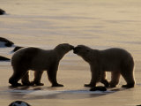 Polar Bears Sniffing / Greeting Each Other  Churchill  Canada