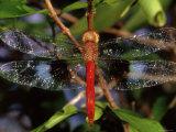 Dragonfly in Ankarana Reserve  Madagascar