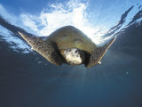 Green Turtle Swimming  Sulu-Sulawesi Seas  Indo Pacific Ocean