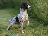 English Springer Spaniel  Wet and Alert  USA