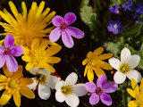 Mixed Spring Flowers Including Meadow Saxafrage and Celandine
