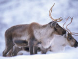 Reindeer from Domesticated Herd  Scotland  UK