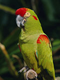 Red Fronted Macaw Portrait