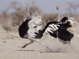 Two Male Ostriches Running During Dispute  Etosha National Park  Namibia