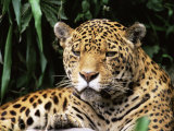 Jaguar Portrait  South America