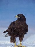 Galapagos Hawk  Espanola/Hood Is  Galapagos Islands  Ecuador