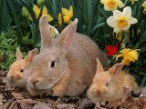 Palamino Rabbits  Mother and Babies  Amongst Daffodils